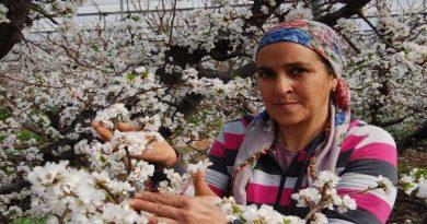 Mersin'in Silifke ilçesinde örtü altındaki erik ağaçları çiçek açtı